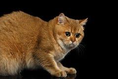Británicos peludos crían el gato en fondo negro aislado foto de archivo libre de regalías