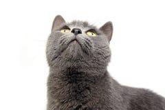 Brit Cat azul en un estudio blanco imagenes de archivo