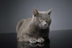 Brit Cat azul en un estudio oscuro foto de archivo