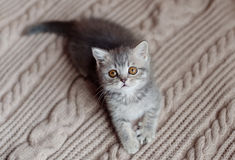 Britain's little kitten hunts. Britain's little kitten is hunting for something royalty free stock images