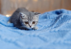 Britain's little kitten hunts Royalty Free Stock Photo