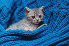 Britain's little kitten hunts Royalty Free Stock Photography