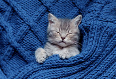 Britain's little kitten hunts. Britain's little kitten is hunting for something Stock Photos