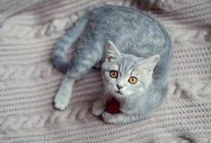 Britain's little kitten hunts. Britain's little kitten is hunting for something Royalty Free Stock Photo