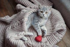 Britain's little kitten hunts. Britain's little kitten is hunting for something Royalty Free Stock Image