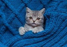 Britain's little kitten sleeps. Britain's little kitten is hunting for something Stock Photo
