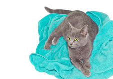 Britannic cat on a towel Stock Photo