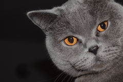 Britannici Shorthair - gatto Fotografia Stock