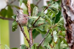 Male house finch perched on a tree branch Stock Photos