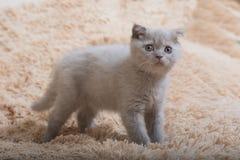 Briten-Falte Gray Kitten stockfotos