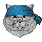 Brithish noble cat Male Wild animal wearing bandana or kerchief or bandanna Image for Pirate Seaman Sailor Biker Stock Photography