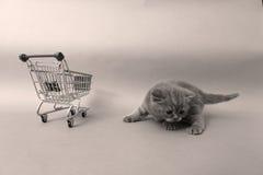 Britisch Kurzhaar-Baby Lizenzfreie Stockfotos
