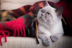 Britisch Kurzhaar colorpoint Katze Lizenzfreie Stockfotografie