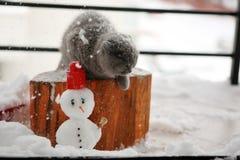 Britisch Kurzhaar-Kätzchen Lizenzfreie Stockbilder