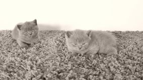 Britisch Kurzhaar-Kätzchen, die auf einem weichen Teppich, Kopienraum liegen stock video footage