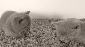 Britisch Kurzhaar-Kätzchen, die auf einem weichen Teppich, Kopienraum liegen stock footage