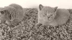 Britisch Kurzhaar-Kätzchen, die auf einem weichen Teppich, Kopienraum liegen stock video