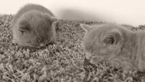 Britisch Kurzhaar-Kätzchen, die auf einem weichen Teppich, Kopienraum schlafen stock video footage
