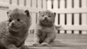 Britisch Kurzhaar-Kätzchen, die in einem kleinen Yard, weißer Zaun Innen sich bewegen und spielen stock video