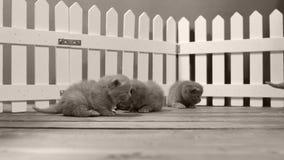 Britisch Kurzhaar-Kätzchen, die in einem kleinen Yard, weißer Zaun Innen sich bewegen und spielen stock footage