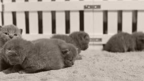 Britisch Kurzhaar-Kätzchen, die in einem kleinen Yard, weißer Zaun Innen spielen stock video