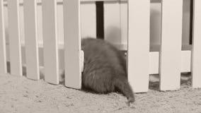 Britisch Kurzhaar-Kätzchen, die in einem kleinen Yard, weißer Zaun Innen spielen stock footage