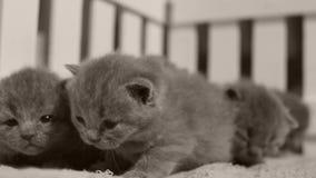 Britisch Kurzhaar-Kätzchen in einem kleinen Yard, weißer Zaun Innen stock footage