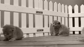 Britisch Kurzhaar-Kätzchen in einem kleinen Yard, weißer Zaun Innen stock video footage