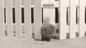 Britisch Kurzhaar-Kätzchen in einem kleinen Yard, weißer Zaun Innen stock video