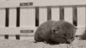 Britisch Kurzhaar-Kätzchen heraus miauend laut, weißer Zaun stock video