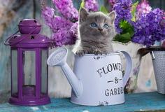 Britisch Kurzhaar-Kätzchen und -blumen lizenzfreies stockfoto