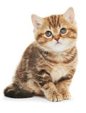 Britisch Kurzhaar-Kätzchenkatze lokalisiert Stockbilder