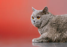 Britisch Kurzhaar-Katze Stockbild