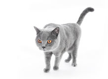 Britisch Kurzhaar-Katze auf Weiß gehen Lizenzfreie Stockfotografie
