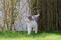 Britisch Kurzhaar-Katze in der Flieder, die von der Hecke kommt stockfotografie
