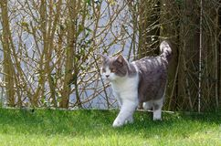 Britisch Kurzhaar-Katze, die auf Rasen vom Kommen von einer Hecke geht lizenzfreie stockbilder