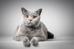 Britisch Kurzhaar-Katze, die auf weißer Tabelle liegt lizenzfreies stockbild