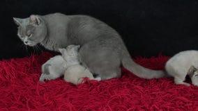 Britisch Kurzhaar-Katze und -kätzchen, die auf einer roten flaumigen Decke sitzen stock video