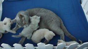 Britisch Kurzhaar-Katze, welche die lila und blauen Kätzchen einzieht stock footage