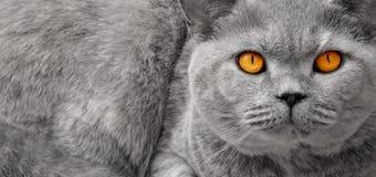 Britisch Kurzhaar-Katzenaugen Stockbild