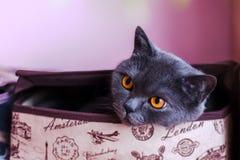 Britisch Kurzhaar-Katzennahaufnahme, betrachtend direkt der Kamera stockbilder