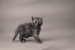 Britisch Kurzhaar-Katzenporträt, weißer Hintergrund, lizenzfreie stockfotos