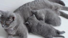 Britisch Kurzhaar-Mutter, die ihre Babys einzieht stock video footage
