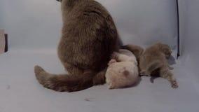 Britisch Kurzhaar-Mutter, die mit ihren Babys spielt stock video footage