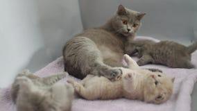 Britisch Kurzhaar-Mutter, die mit ihren Babys spielt stock video