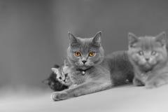 Britisch Kurzhaar-Mutter mit ihrem Baby lizenzfreies stockfoto