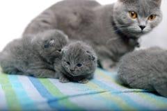 Britisch Kurzhaar-Mutter mit ihren Babys Lizenzfreie Stockfotos