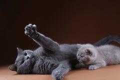 Britisch Kurzhaar-Mutterkatze, die mit Kätzchen, Porträt spielt lizenzfreie stockfotos
