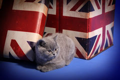Britisch Kurzhaar nahe einem Kasten Lizenzfreie Stockfotos