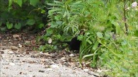 Britische Amsel, die im Unterholz f?r Nestmaterialnahrung herumsucht stock footage